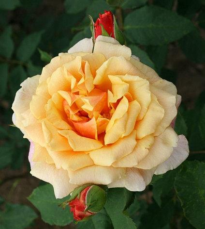 """Корни роз сорт """"Карамелла"""", фото 2"""