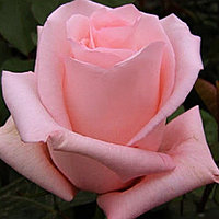 "Корни роз сорт ""Мэрхен Кениген"""