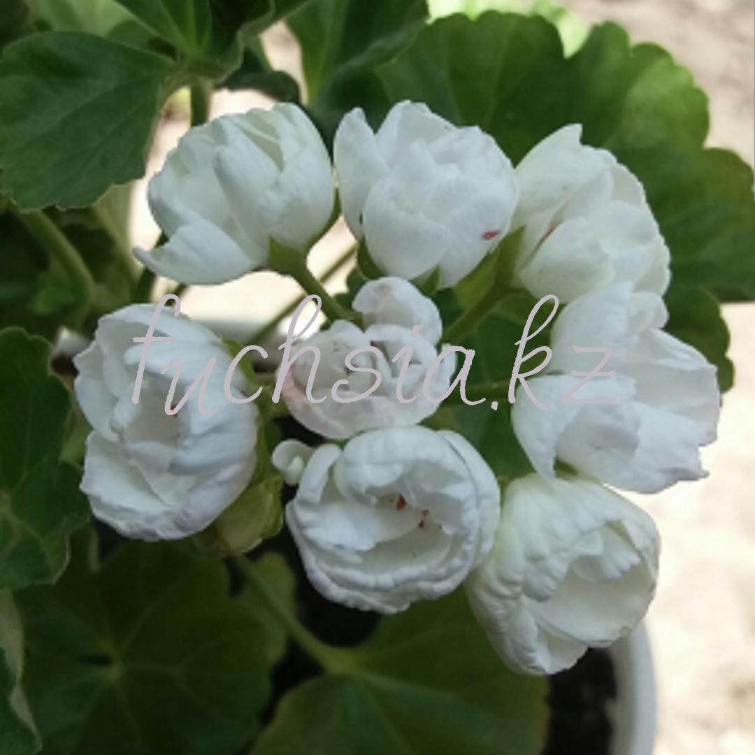 Marbacka Tulpan /тюльпановидная