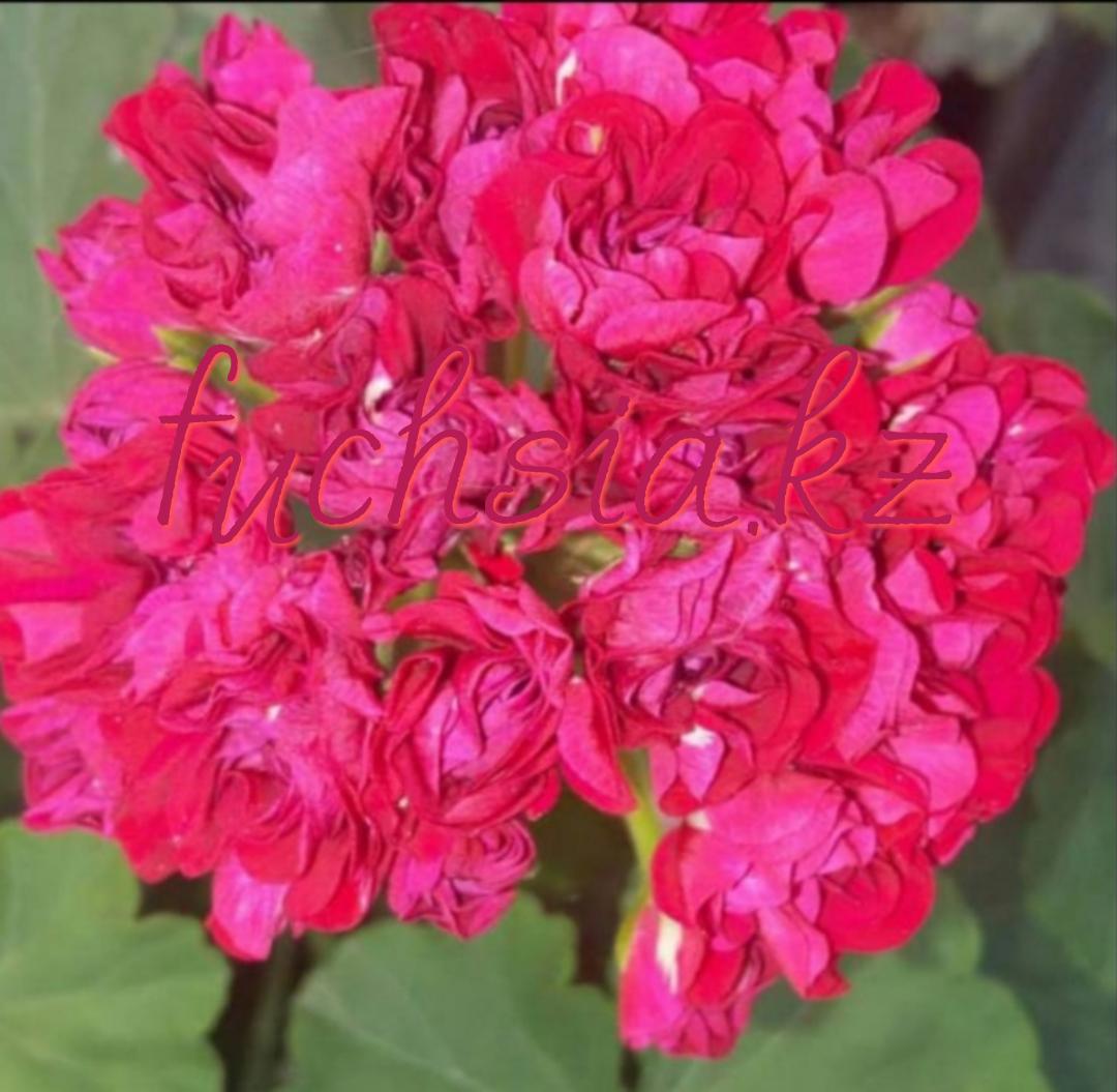Ungarisk Appleblossom Rosebud /розебуд