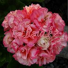 Denise (Rocdala)/розебуд / укор.черенок