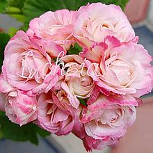Denise (Sutarve)/розебуд / укор.черенок