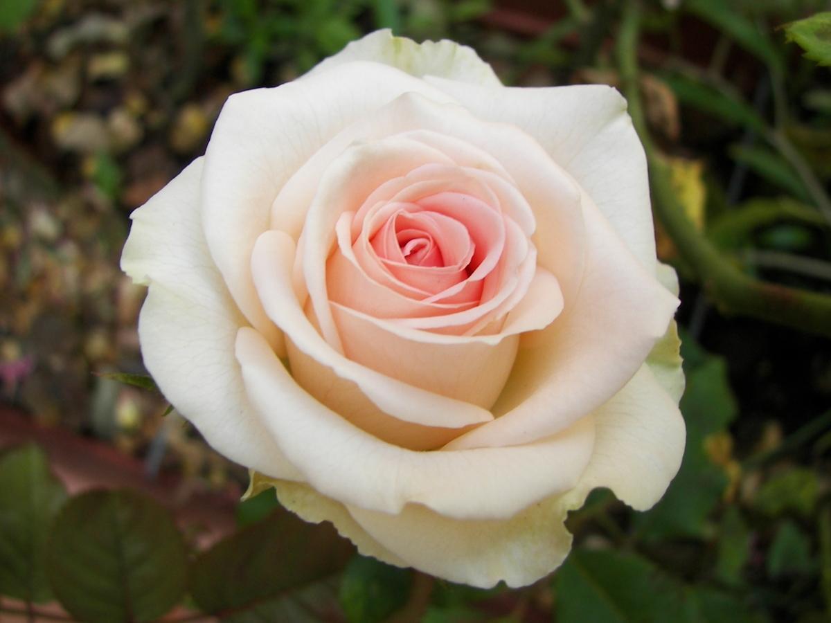 "Корни роз сорт ""Ла Белла"""