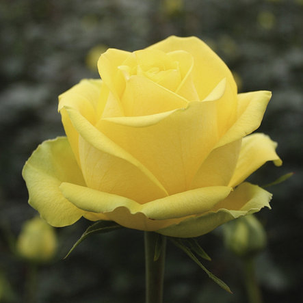 "Корни роз сорт ""Латина"", фото 2"
