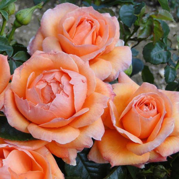 "Корни роз сорт ""Леди Мармелад"""