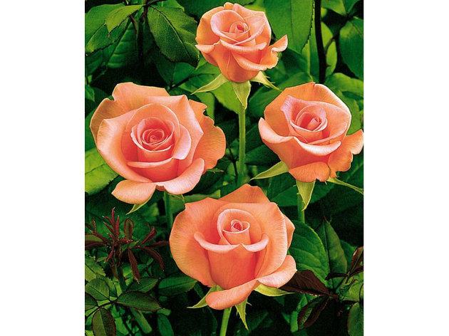 """Корни роз сорт """"Ленни"""", фото 2"""