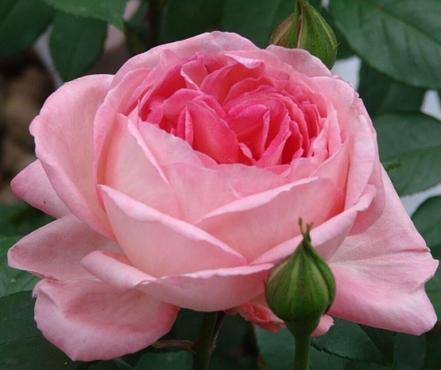 """Корни роз сорт """"Лив Тайлер"""", фото 2"""
