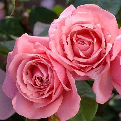 """Корни роз сорт """"Лин Рено"""""""