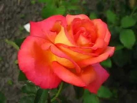"""Корни роз сорт """"Лина"""", фото 2"""