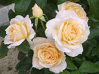 "Корни роз сорт ""Львиная Роза"""