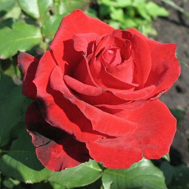 """Корни роз сорт """"Лавли Ред"""""""
