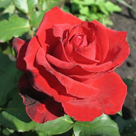 """Корни роз сорт """"Лавли Ред"""", фото 2"""