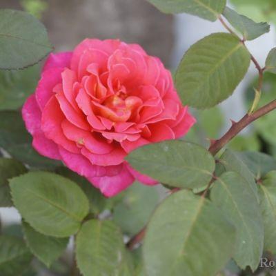 """Корни роз сорт """"Мадрас"""", фото 2"""