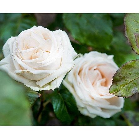 """Корни роз сорт """"Майтос"""", фото 2"""