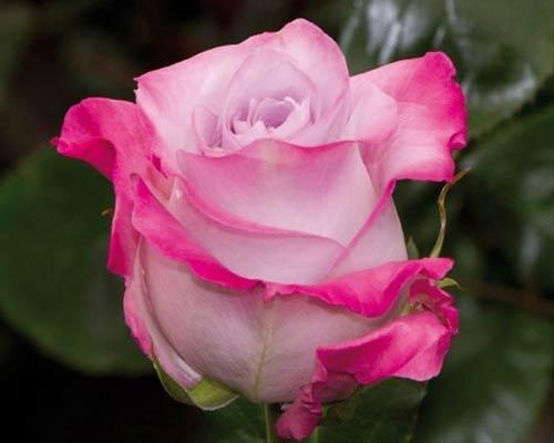"""Корни роз сорт """"Малибу"""""""