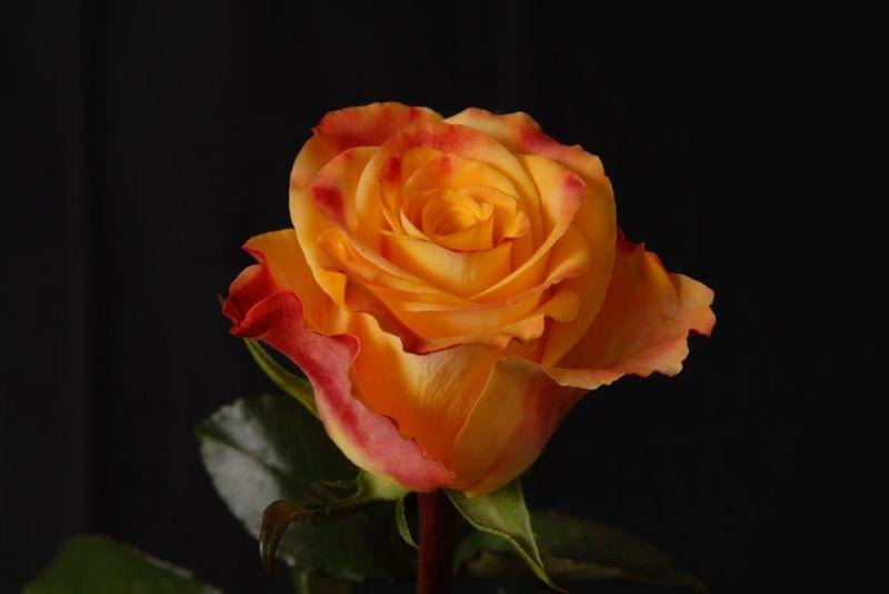 "Корни роз сорт ""Мари Клэр"""