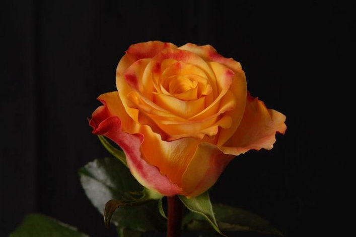 "Корни роз сорт ""Мари Клэр"", фото 2"