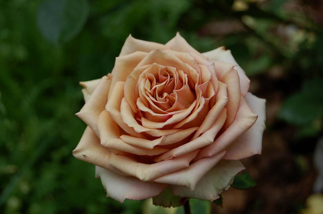 "Корни роз сорт ""Марракеш"""