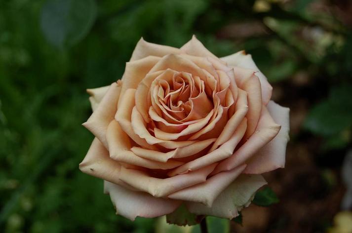 """Корни роз сорт """"Марракеш"""", фото 2"""
