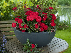 Мини-розы (Миниатюрные Розы)