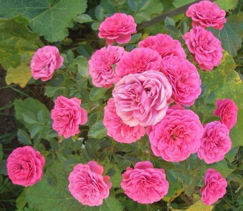 """Корни роз сорт """"Амулет"""", фото 2"""