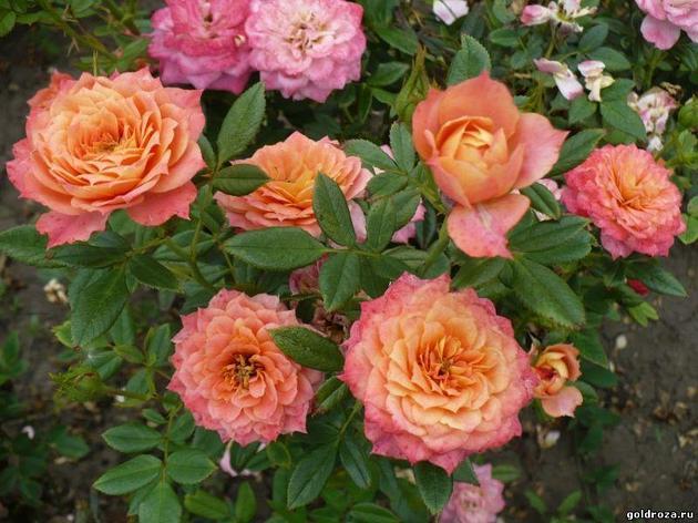 """Корни роз сорт """"Бриоза"""", фото 2"""
