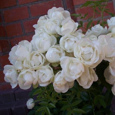 """Корни роз сорт """"Вайт Морсдаг"""", фото 2"""