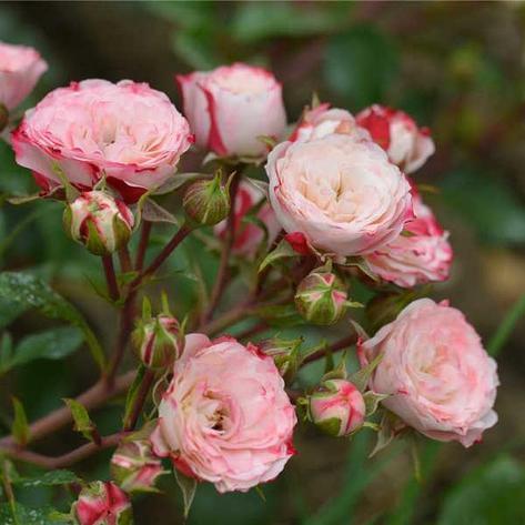 """Корни роз сорт """"Пат де Велюр"""", фото 2"""