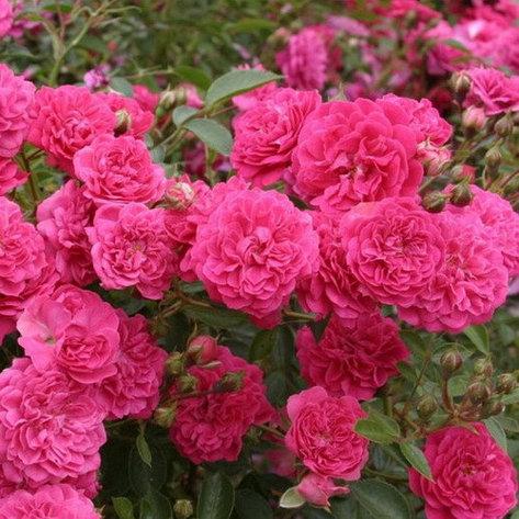 """Корни роз сорт """"Рокси"""", фото 2"""