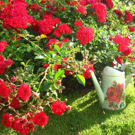 "Корни роз сорт ""Ред Фейри"", фото 2"