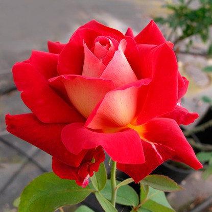 """Корни роз сорт """"Монте-Карло"""", фото 2"""