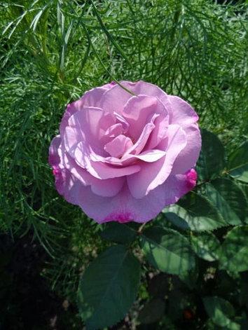 "Корни роз сорт ""Муди Блю"", фото 2"