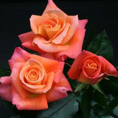 """Корни роз сорт """"Набила"""", фото 2"""