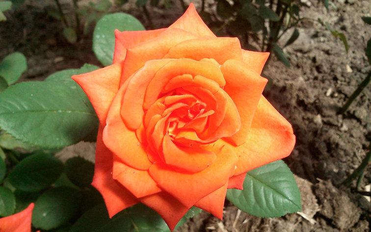 "Корни роз сорт ""Наранга"", фото 2"