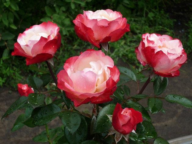 """Корни роз сорт """"Ностальжи"""", фото 2"""