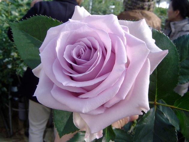 """Корни роз сорт """"Оушен Сонг"""", фото 2"""
