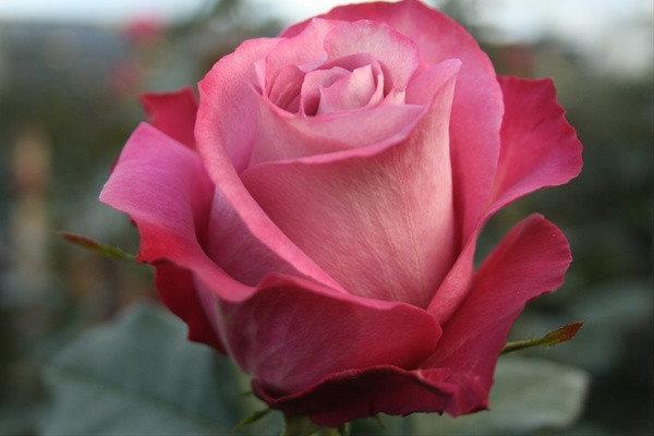 "Корни роз сорт ""Опус"", фото 2"