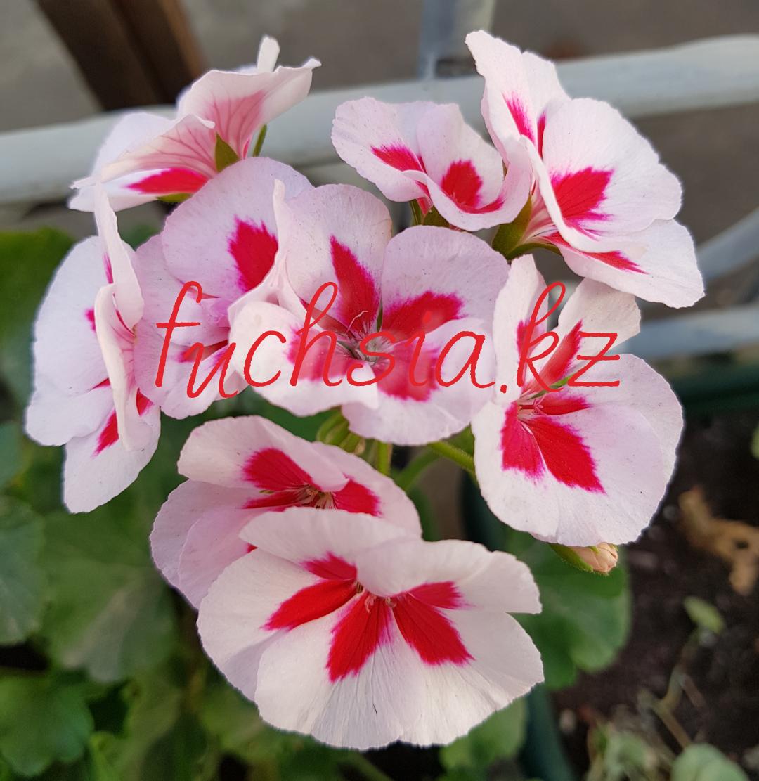 Americana White Splash / подрощенное растение