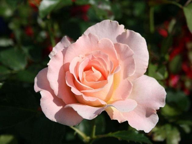 "Корни роз сорт ""Рококо"", фото 2"