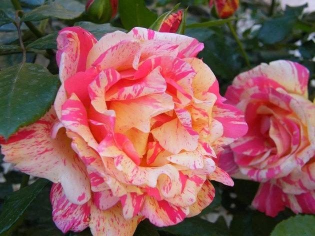 """Корни роз сорт """"Токад"""", фото 2"""