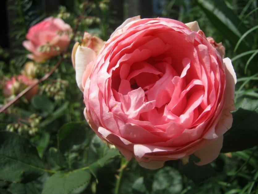 "Корни роз сорт ""Фёрст Леди"""