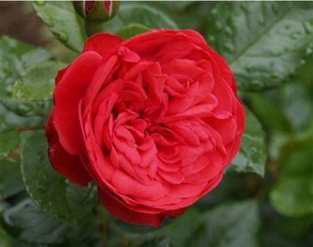 """Корни роз сорт """"Пиано"""", фото 2"""