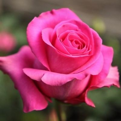"""Корни роз сорт """"Пинк Флойд"""""""