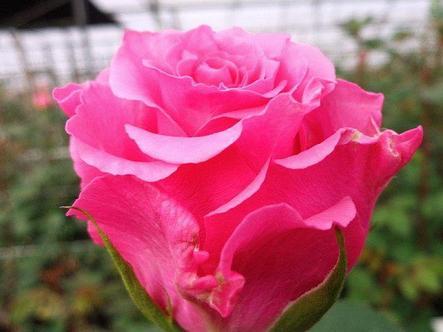 "Корни роз сорт ""Пинк Флойд"", фото 2"