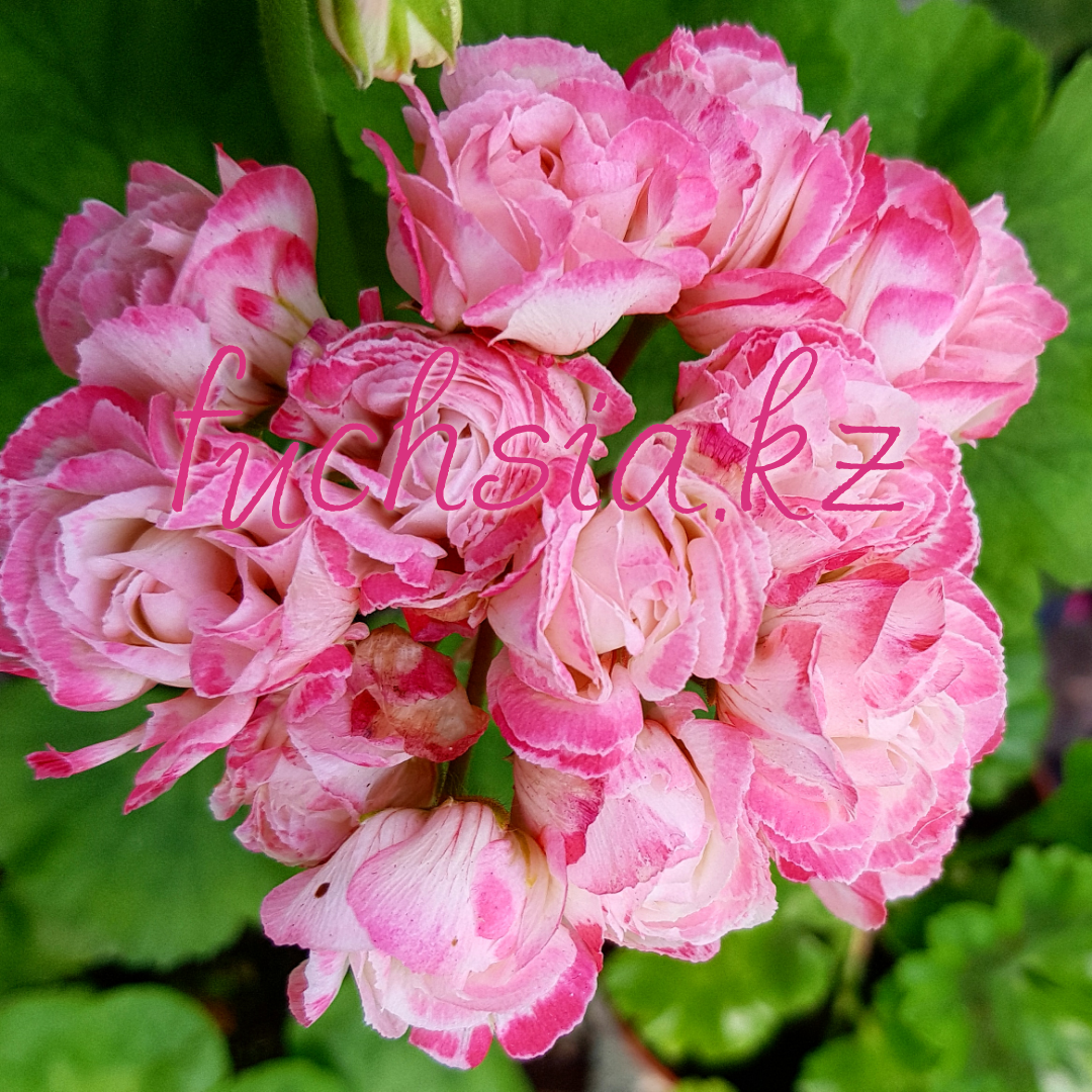 Fisher Appleblossom Rosebud/розебуд / укор.черенок