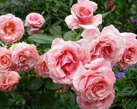"""Корни роз сорт """"Поэзия """", фото 2"""