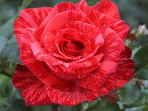 "Корни роз сорт ""Ред Интуишн"""