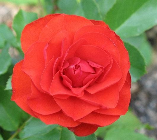 "Корни роз сорт ""Ремембранс"", фото 2"