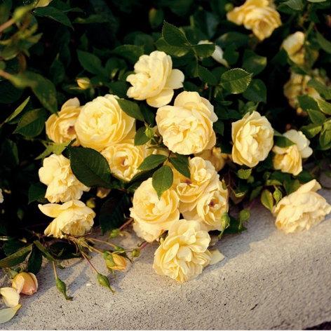 """Корни роз сорт """"Зоненширм"""", фото 2"""