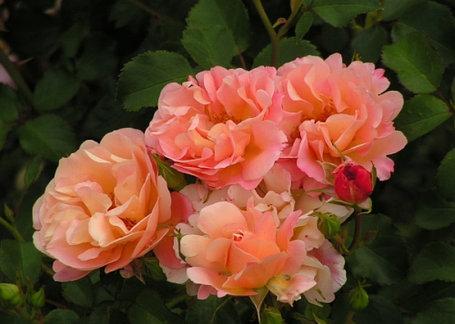 """Корни роз сорт """"Кубана"""", фото 2"""